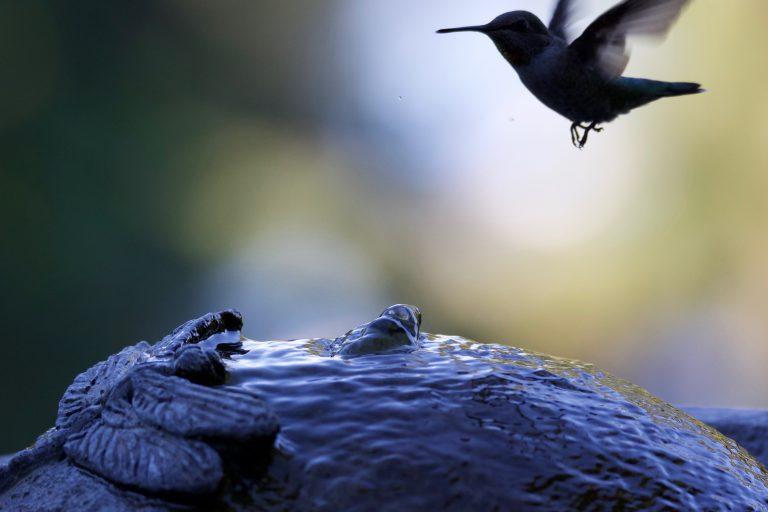 hummingbird at fountain
